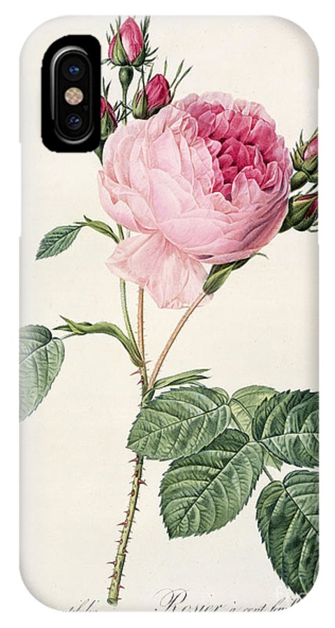 Rosa IPhone X Case featuring the drawing Rosa Centifolia by Pierre Joseph Redoute