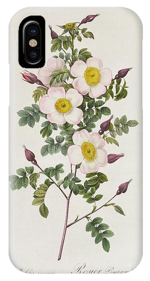 Rosa IPhone X Case featuring the drawing Rosa Pimpinelli Folia Inermis by Pierre Joseph Redoute
