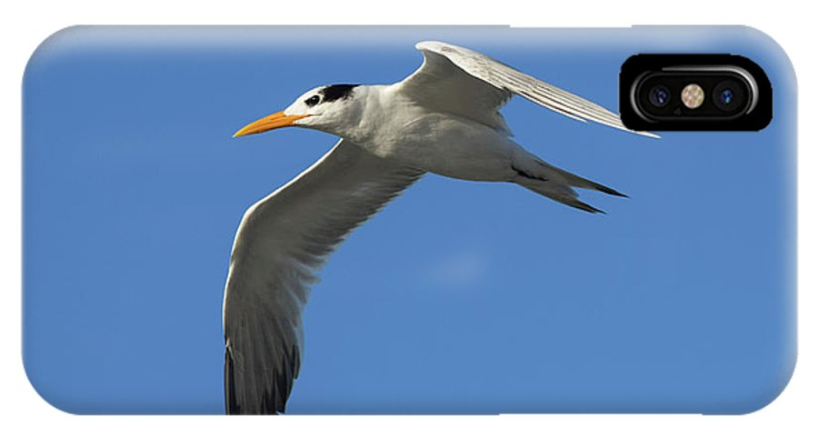 Royal Tern IPhone X Case featuring the photograph Royal Tern In Flight by William Tasker
