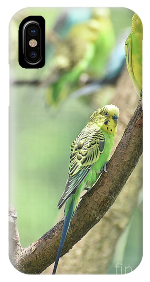 Budgie IPhone X Case featuring the photograph Small Budgie Birds With Beautiful Colored Feathers by DejaVu Designs