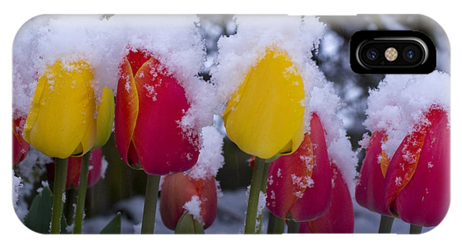 Tulips IPhone X Case featuring the photograph Snowy Tulips by Louise Magno