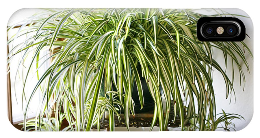 Spider Plant IPhone Case featuring the photograph Spider Plant by Marilyn Hunt
