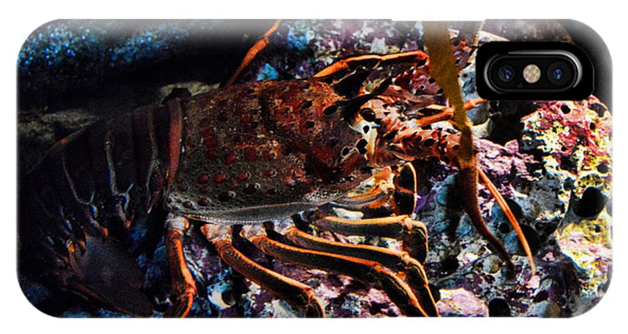 Eel IPhone X Case featuring the photograph Spiney California Lobster by Tommy Anderson