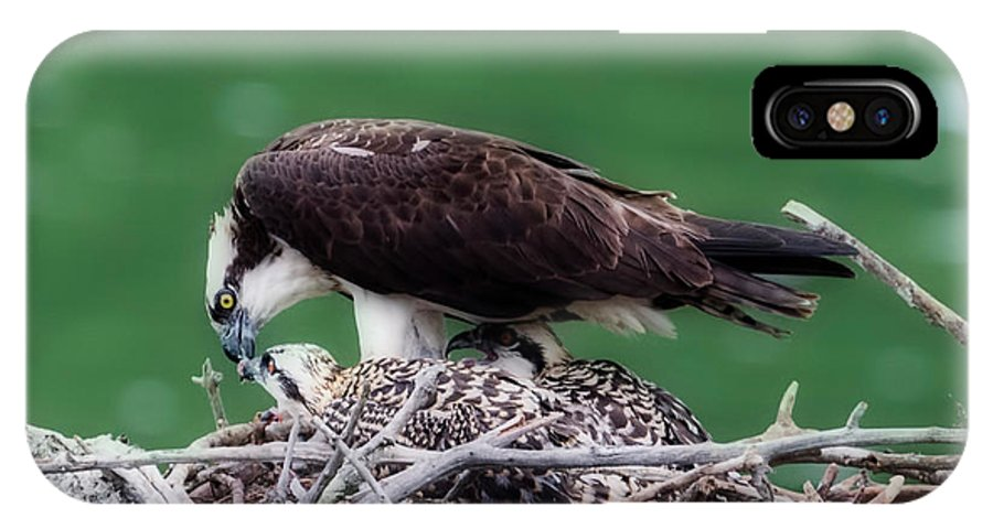 Osprey IPhone X Case featuring the photograph Tearing Off Pieces Of Fish To Feed The Young by Dan Friend