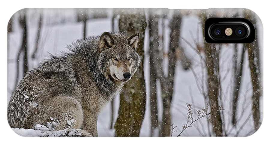 Michael Cummings IPhone X Case featuring the photograph Timber Wolf In Winter by Michael Cummings