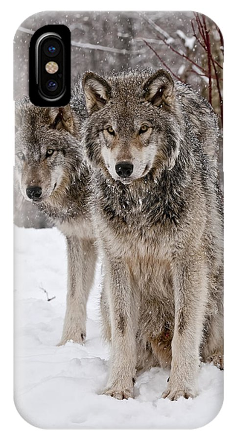 Michael Cummings IPhone X Case featuring the photograph Timber Wolves In Winter by Michael Cummings