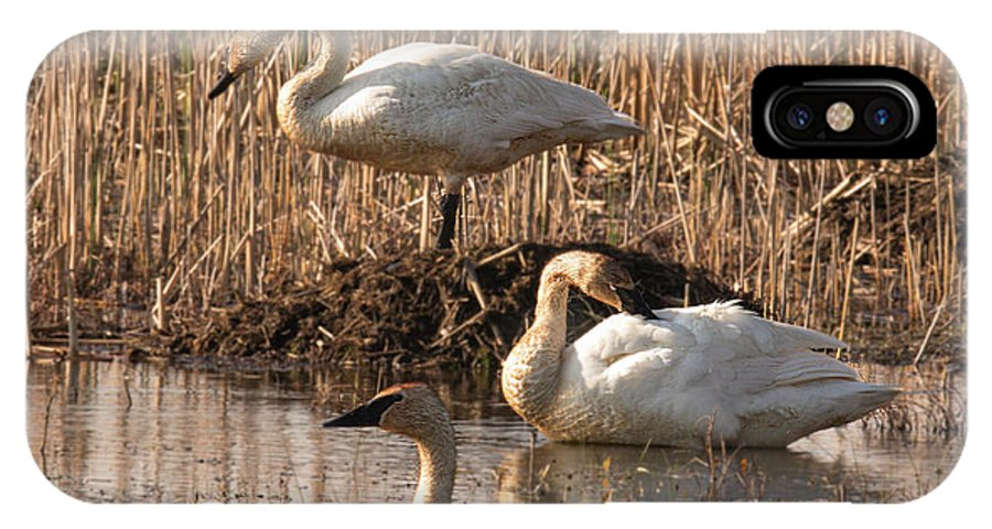 Trumpeter IPhone X / XS Case featuring the photograph Trumpeter Swan Morning by Mark Stephens