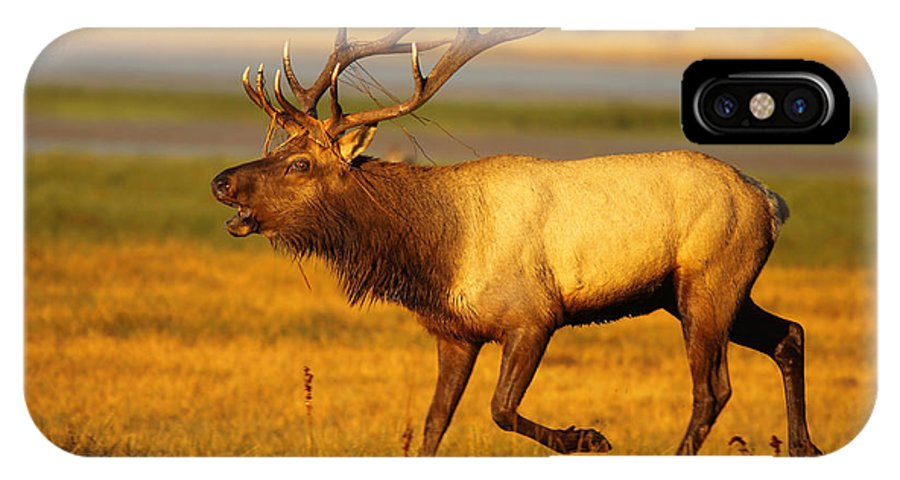 Autumn IPhone X Case featuring the photograph Tule Elk Running By While Bugling by Max Allen
