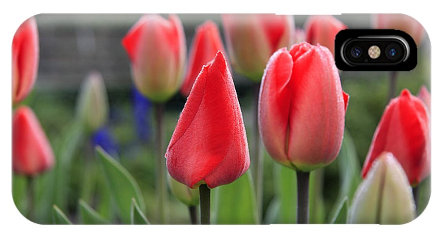 Tulips IPhone X Case featuring the photograph Tulips by Phil Crean