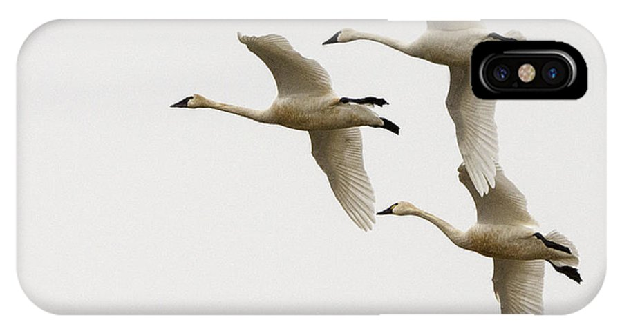 Swan IPhone X Case featuring the photograph Tundra Swans In Flight 1 by Bob Christopher