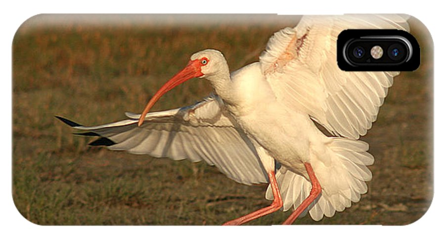 Ibis IPhone X Case featuring the photograph White Ibis Landing Upon Ground by Max Allen