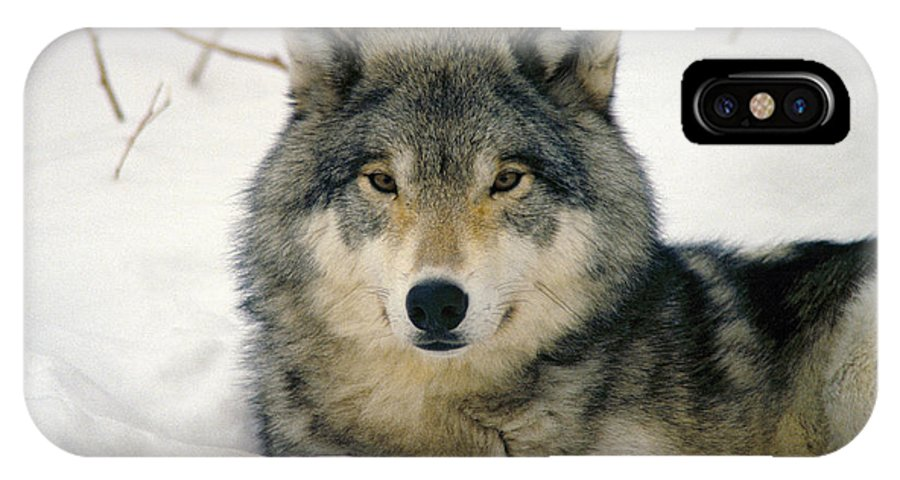 Wolf IPhone Case featuring the photograph Wolf Rests In Snow by Steve Somerville