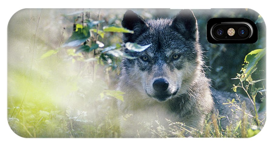 Wolf IPhone Case featuring the photograph Wolf Stare by Steve Somerville
