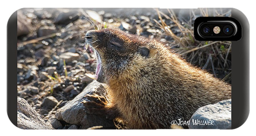 Mount Washburn IPhone X Case featuring the photograph Yawning Marmot by Joan Wallner