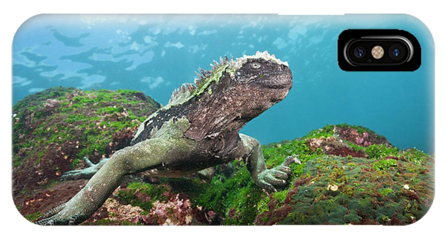 Marine Iguana IPhone X Case featuring the photograph Marine Iguana Feeding At Sea 2 by Reinhard Dirscherl/science Photo Library