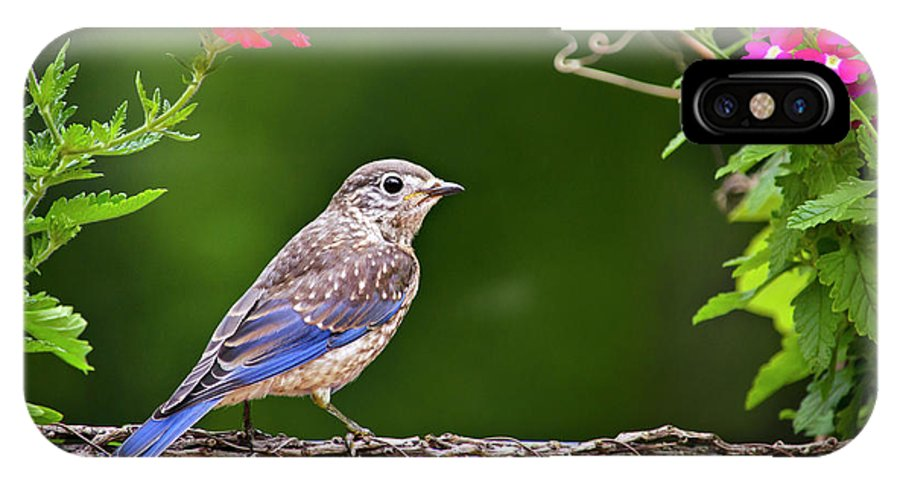 Bluebird IPhone X / XS Case featuring the photograph Bluebird Chick by Christina Rollo