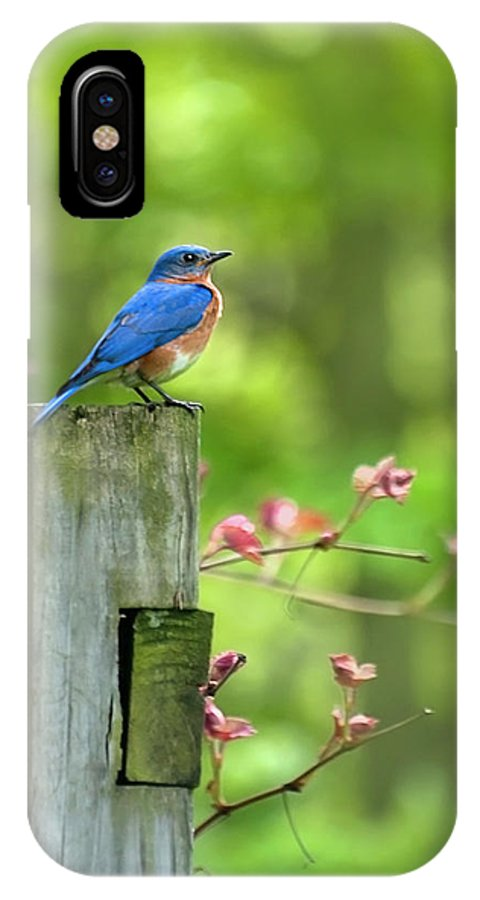 Bluebird IPhone X Case featuring the photograph Eastern Bluebird by Christina Rollo
