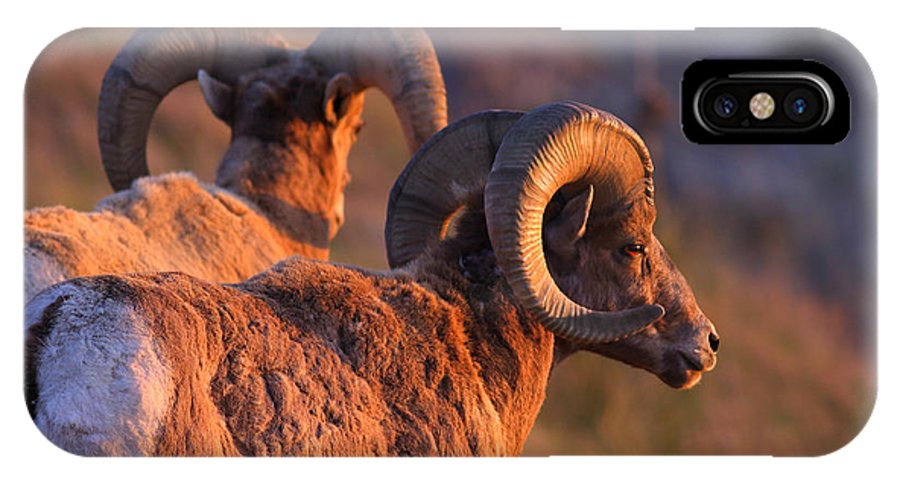 Bighorn Sheep IPhone X Case featuring the photograph Warm Touch by Kadek Susanto