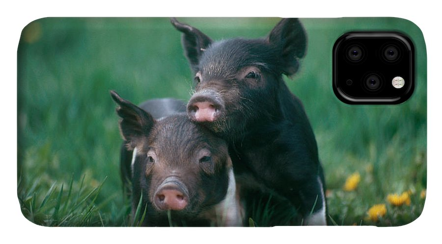 Nature IPhone Case featuring the photograph Domestic Piglets by Alan Carey