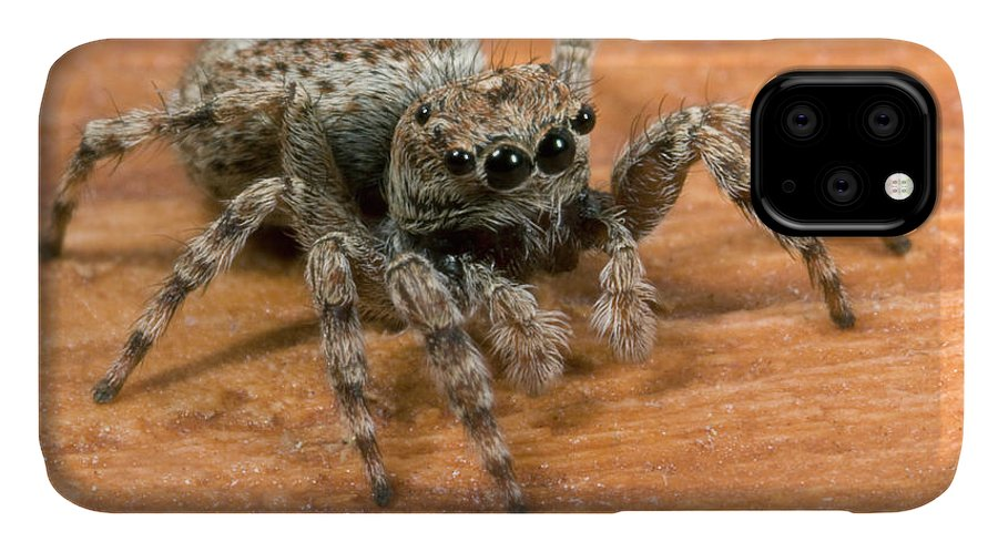 Arachnid IPhone Case featuring the photograph Jumping Spider by Nigel Downer