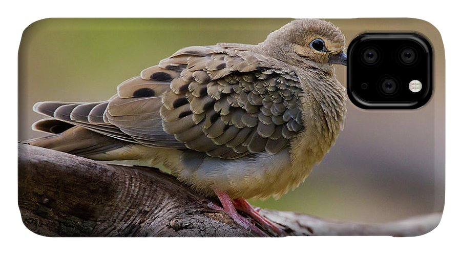 Bird IPhone 11 Case featuring the photograph Mourning Dove (zenaida Macroura by Larry Ditto