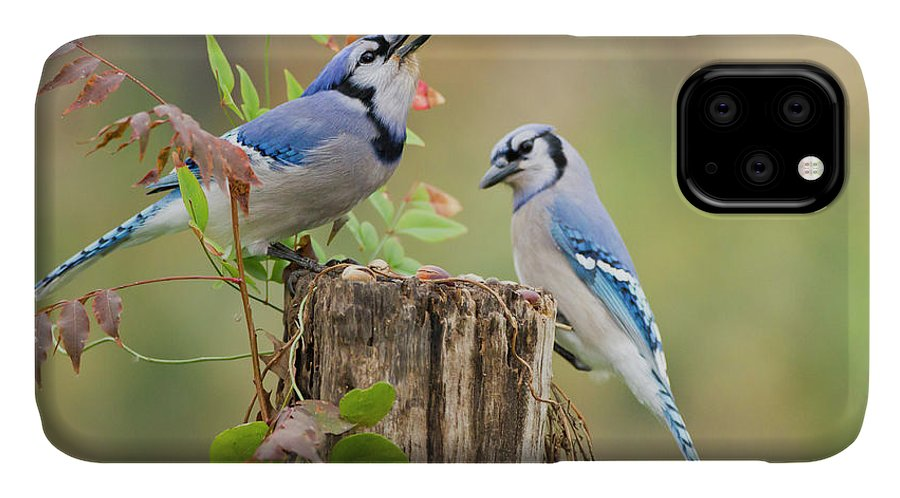 Acorn IPhone 11 Case featuring the photograph Blue Jay (cyanocitta Cristata by Larry Ditto