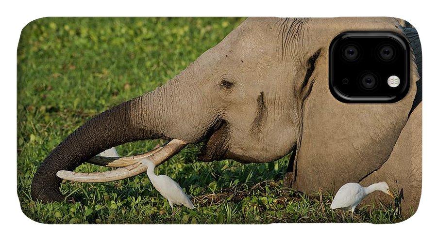 Africa IPhone Case featuring the photograph African Elephant Feeding Alongside Egrets by Tony Camacho
