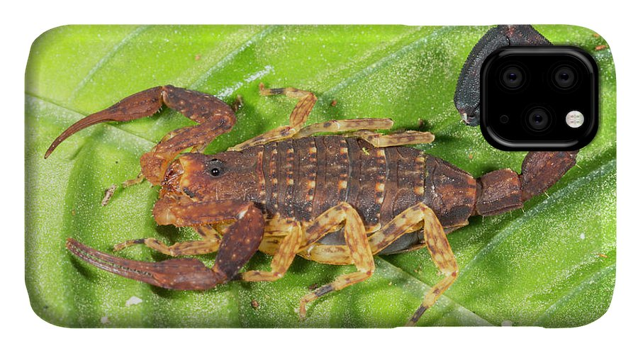 Amazon IPhone Case featuring the photograph Amazonian Scorpion by Dr Morley Read
