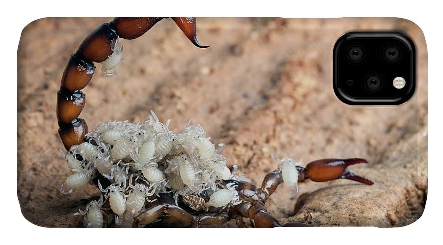 Bothriurus Picunche IPhone Case featuring the photograph Bothriurus Scorpion by Alex Hyde