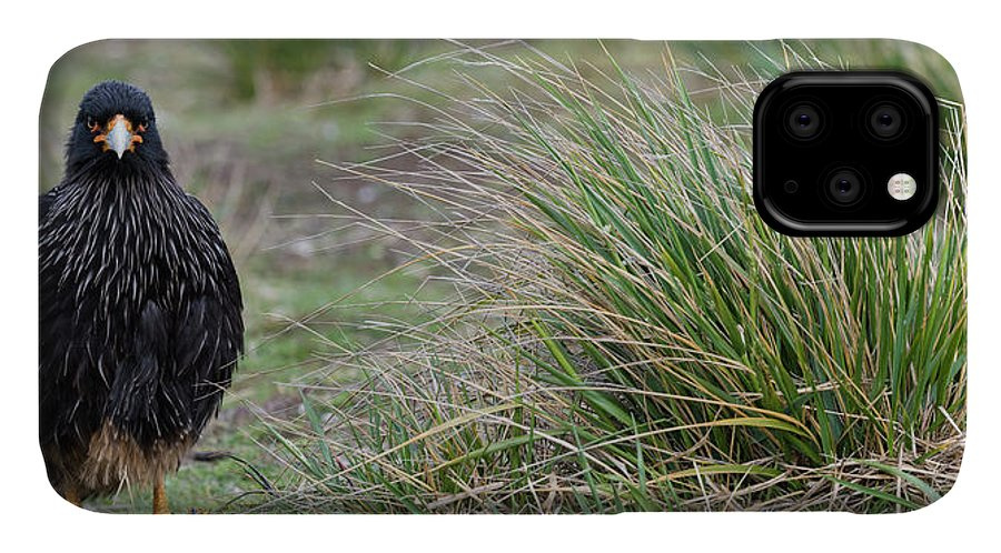 Photography IPhone 11 Case featuring the photograph Close-up Of Striated Caracara by Panoramic Images