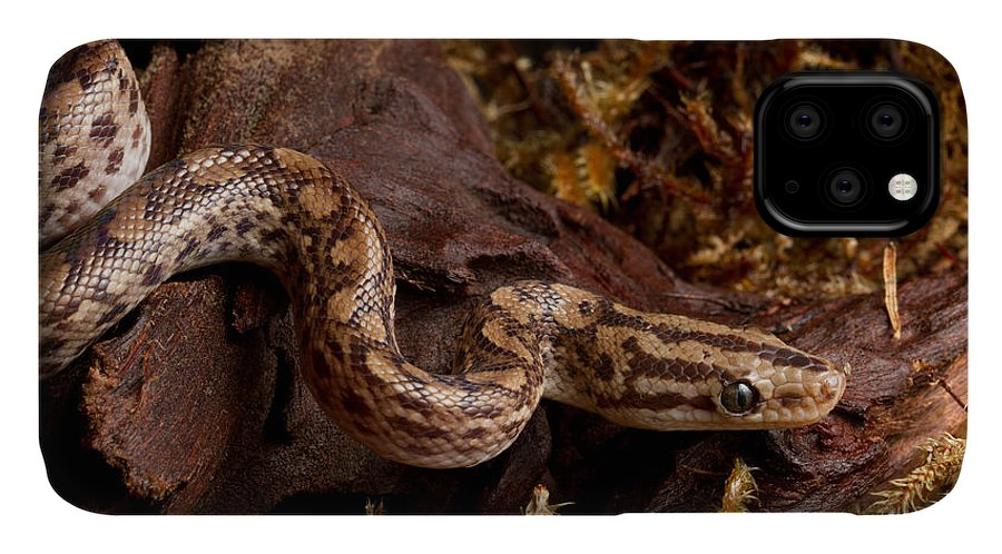 Animal IPhone Case featuring the photograph Colombian Rainbow Boa Epicrates Maurus by David Kenny