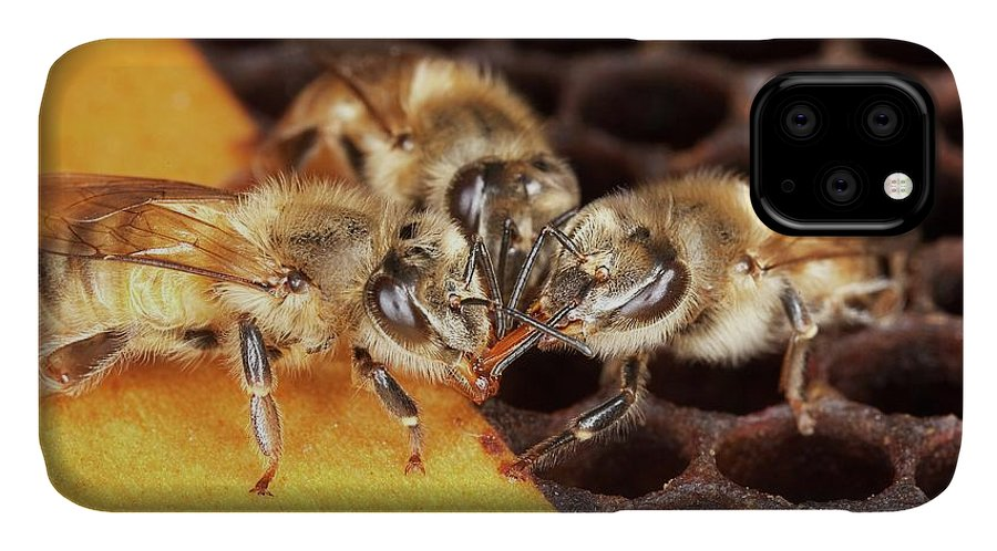 Honey Bee IPhone Case featuring the photograph Honey Bee Mouth-to-mouth Feeding by Stephen Ausmus/us Department Of Agriculture