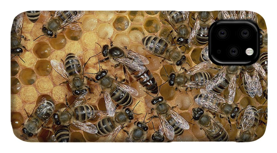 Feb0514 IPhone Case featuring the photograph Honey Bee Queen And Colony On Honeycomb by Konrad Wothe