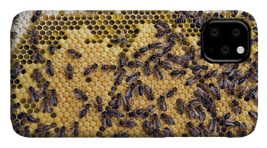 Apis Mellifera IPhone Case featuring the photograph Honeybee Brood Frame by Simon Fraser/science Photo Library