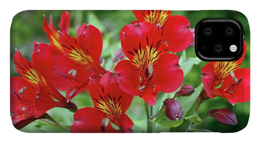 Peruvian Lily Alstroemeria Red Beauty Iphone Case For Sale By Neil Joy Science Photo Library