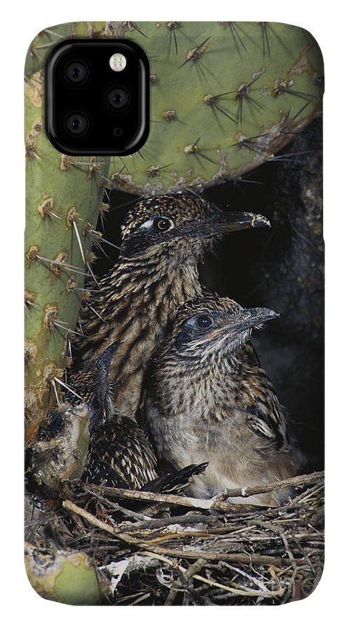 Greater Roadrunner IPhone 11 Case featuring the photograph Roadrunners In Nest by Anthony Mercieca