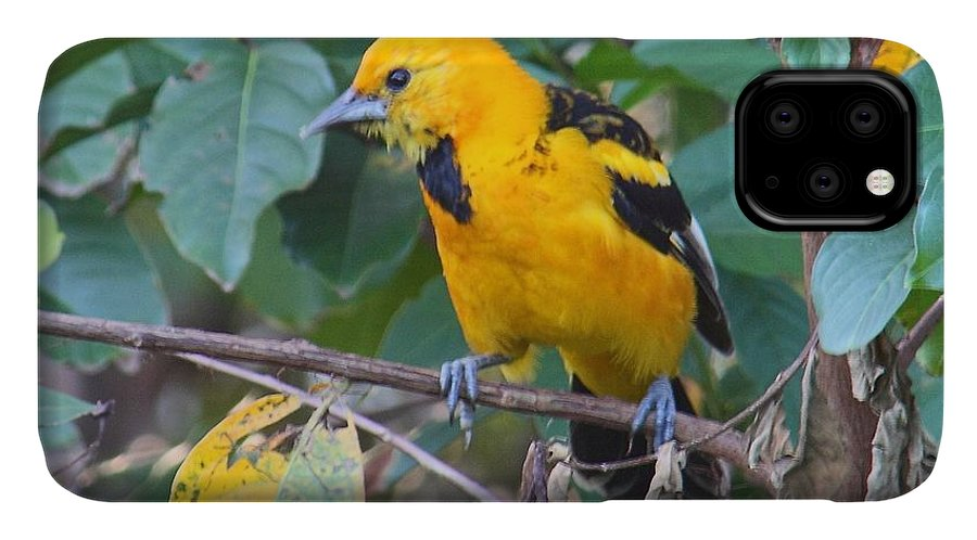 Birds IPhone Case featuring the photograph Spot-Breasted Oriole Teenager by Dart and Suze Humeston