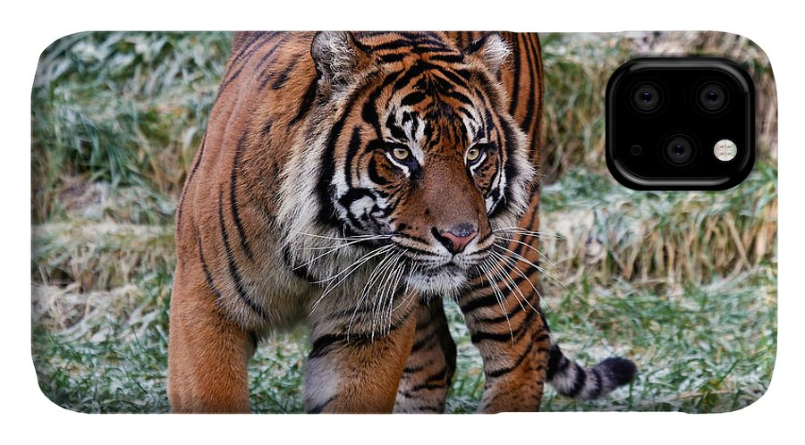 Tiger IPhone 11 Case featuring the photograph Sumatran Tiger On The Prowl by Athena Mckinzie
