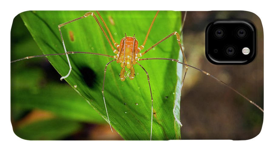 Amazon IPhone Case featuring the photograph Tropical Harvestman On A Leaf by Dr Morley Read