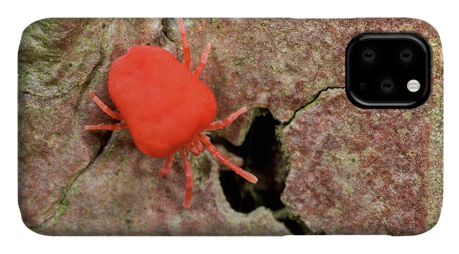Invertebrate IPhone Case featuring the photograph Velvet Mite by Nigel Downer