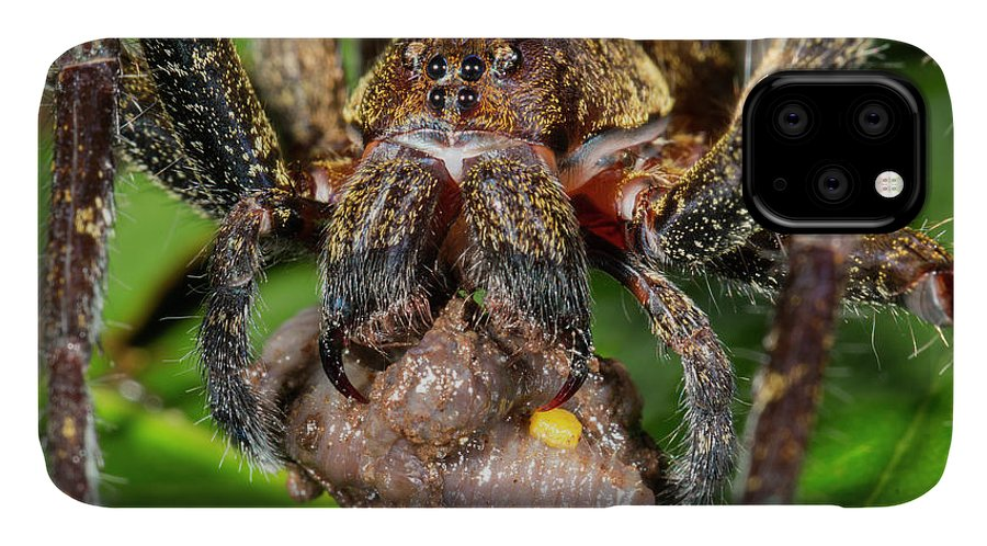 Animal IPhone Case featuring the photograph Wandering Spider Feeding by Dr Morley Read