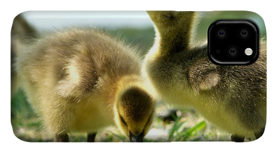 Canada Geese IPhone Case featuring the photograph Goslings 6 by Sharon Talson
