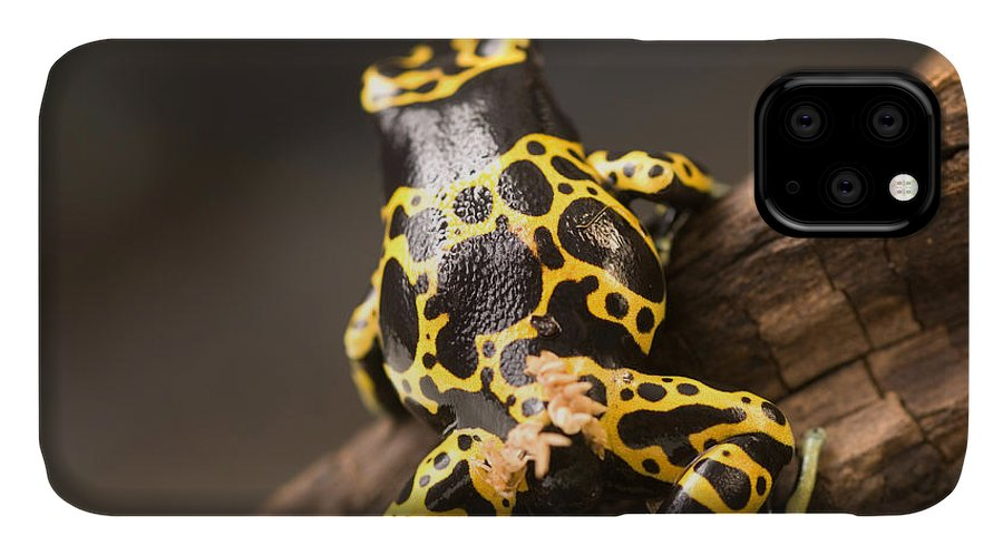 Nobody IPhone 11 Case featuring the photograph A Bumblebee Or Yellow-backed Poison by Joel Sartore