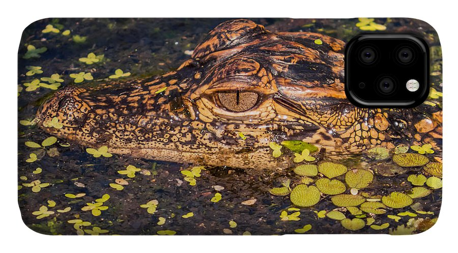 Alligator IPhone 11 Case featuring the photograph Baby Gator And Duckweed by Zina Stromberg