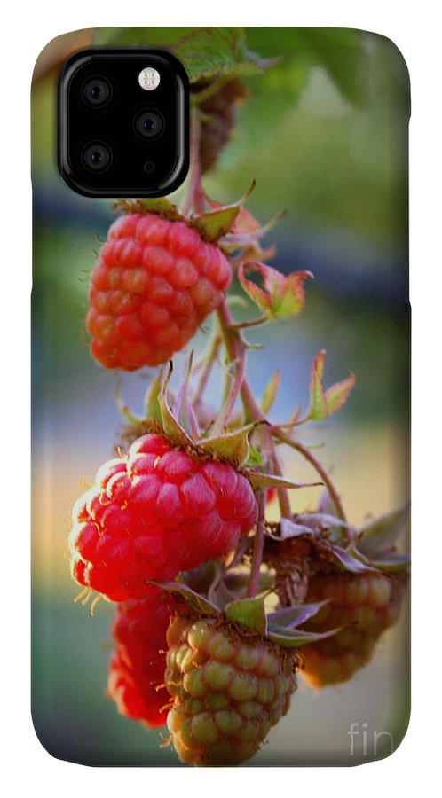 Food And Beverage IPhone Case featuring the photograph Backyard Garden Series - The Freshest Raspberries by Carol Groenen
