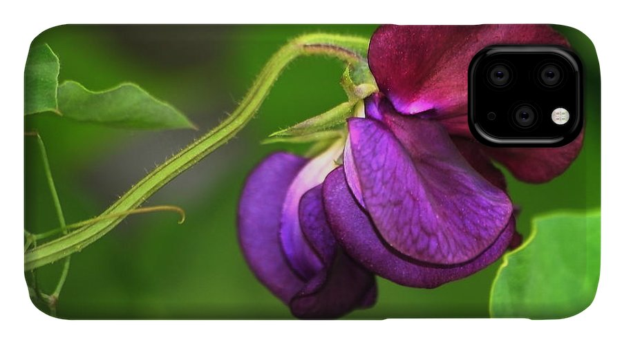 Flower IPhone 11 Case featuring the photograph Purple Sweet Pea by Marjorie Imbeau