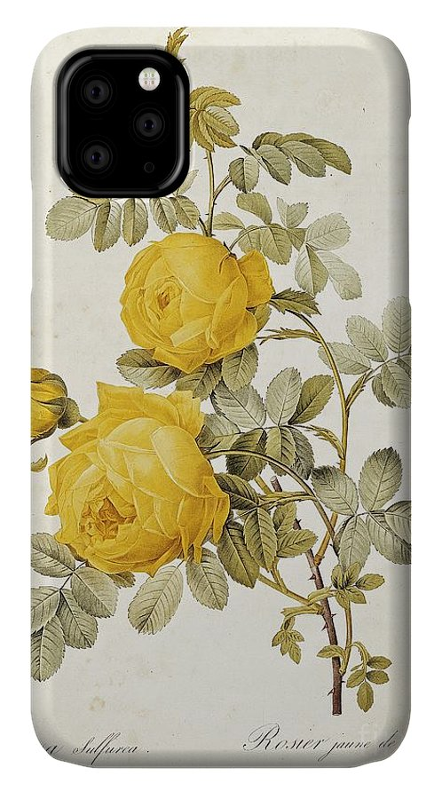 Rosa IPhone Case featuring the drawing Rosa Sulfurea by Pierre Redoute