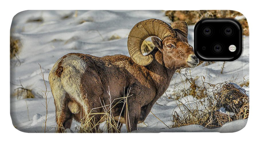 Bighorn Ram IPhone Case featuring the photograph Wintering Bighorn by Jason Brooks
