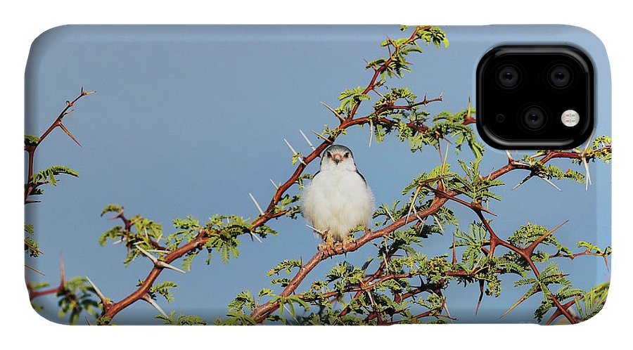 African Pygmy Falcon IPhone Case featuring the photograph African Pygmy Falcon by Dr P. Marazzi/science Photo Library