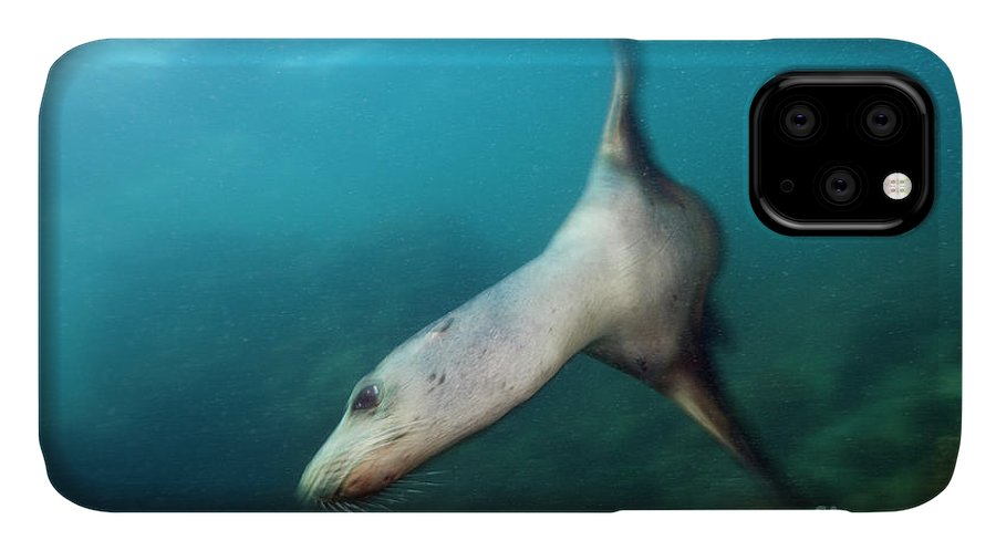 California Sea Lion IPhone Case featuring the photograph California Sea Lion by Reinhard Dirscherl/science Photo Library